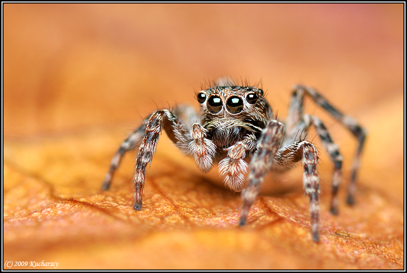 Jumping spider by Dark-Raptor