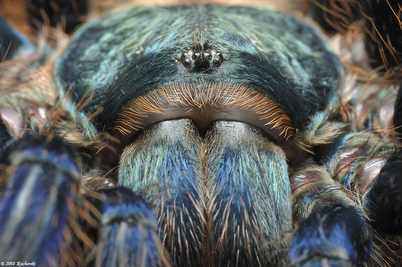 Chromatopelma cyaneopubescens3 by Dark-Raptor