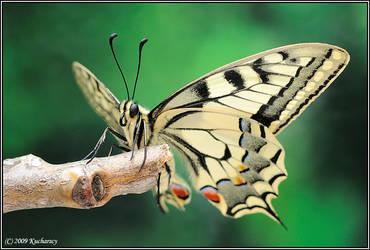 Papilio machaon by Dark-Raptor