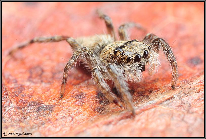 Jumping spider III by Dark-Raptor
