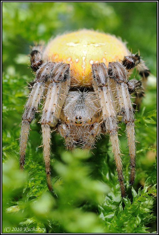 Araneus quadratus IV by Dark-Raptor
