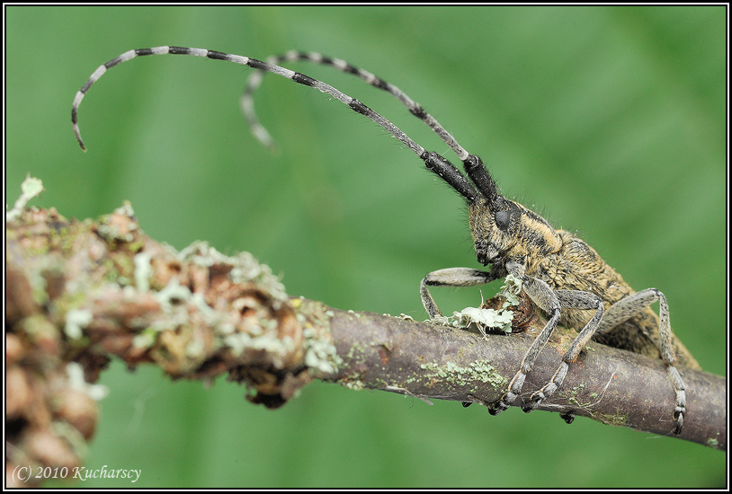 Agapanthia villosoviridescens by Dark-Raptor