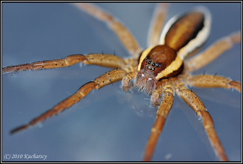 Dolomedes fimbriatus II by Dark-Raptor
