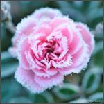 Frozen flower II