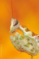 Creobroter gemmatus II by Dark-Raptor