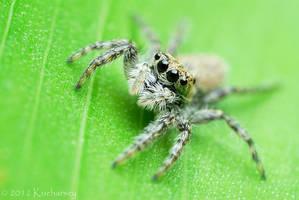 Jumping spider on green leaf by Dark-Raptor