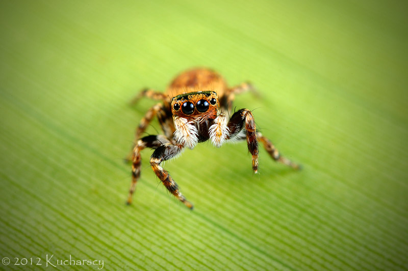 Little jumping spider by Dark-Raptor