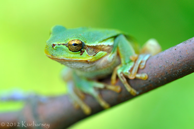 Hyla arborea IX by ~Dark-Raptor