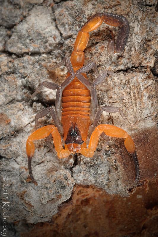 Deadly Orange by Dark-Raptor