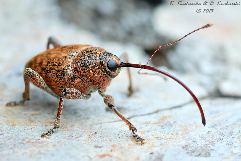 Long nose weevil by Dark-Raptor
