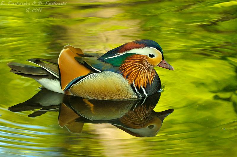 Mandarin duck by Dark-Raptor