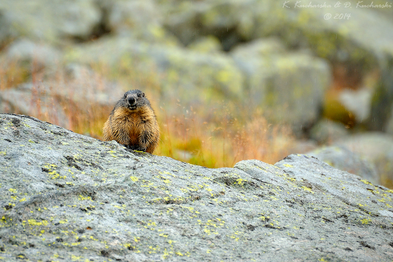Marmota marmota by Dark-Raptor