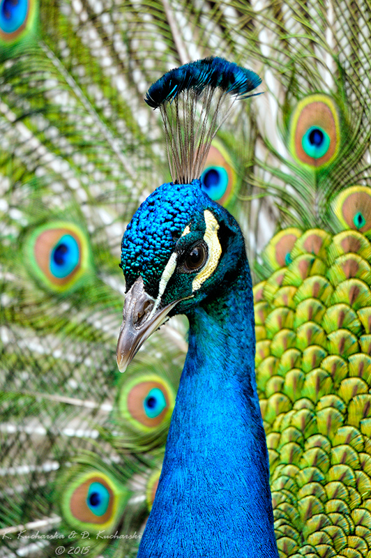 Peafowl by Dark-Raptor