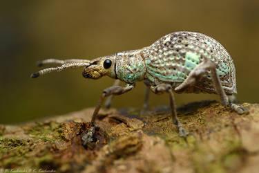 Weevil by Dark-Raptor
