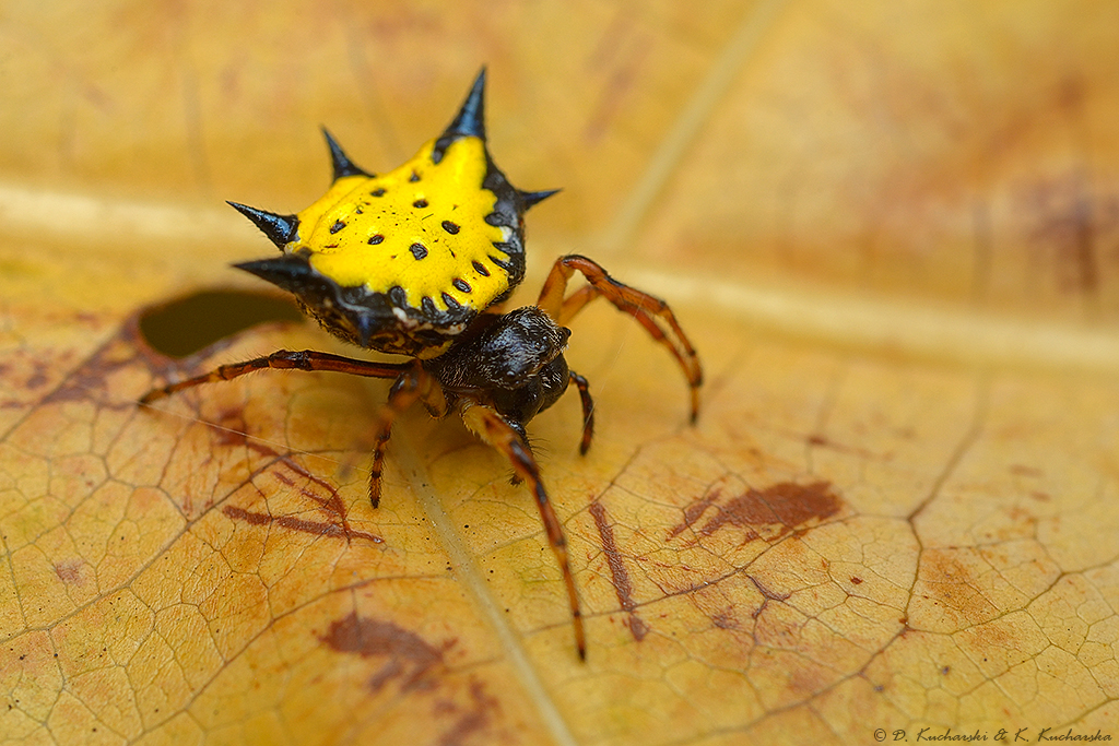 Gasteracantha sp. by Dark-Raptor