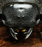 Dorcus parallelopipedus II by Dark-Raptor