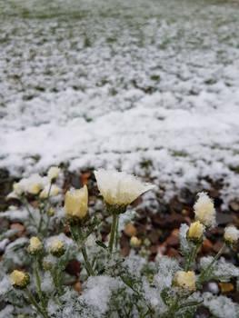 Icy Daisy