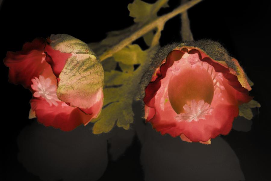 Poppies by georgiamellon