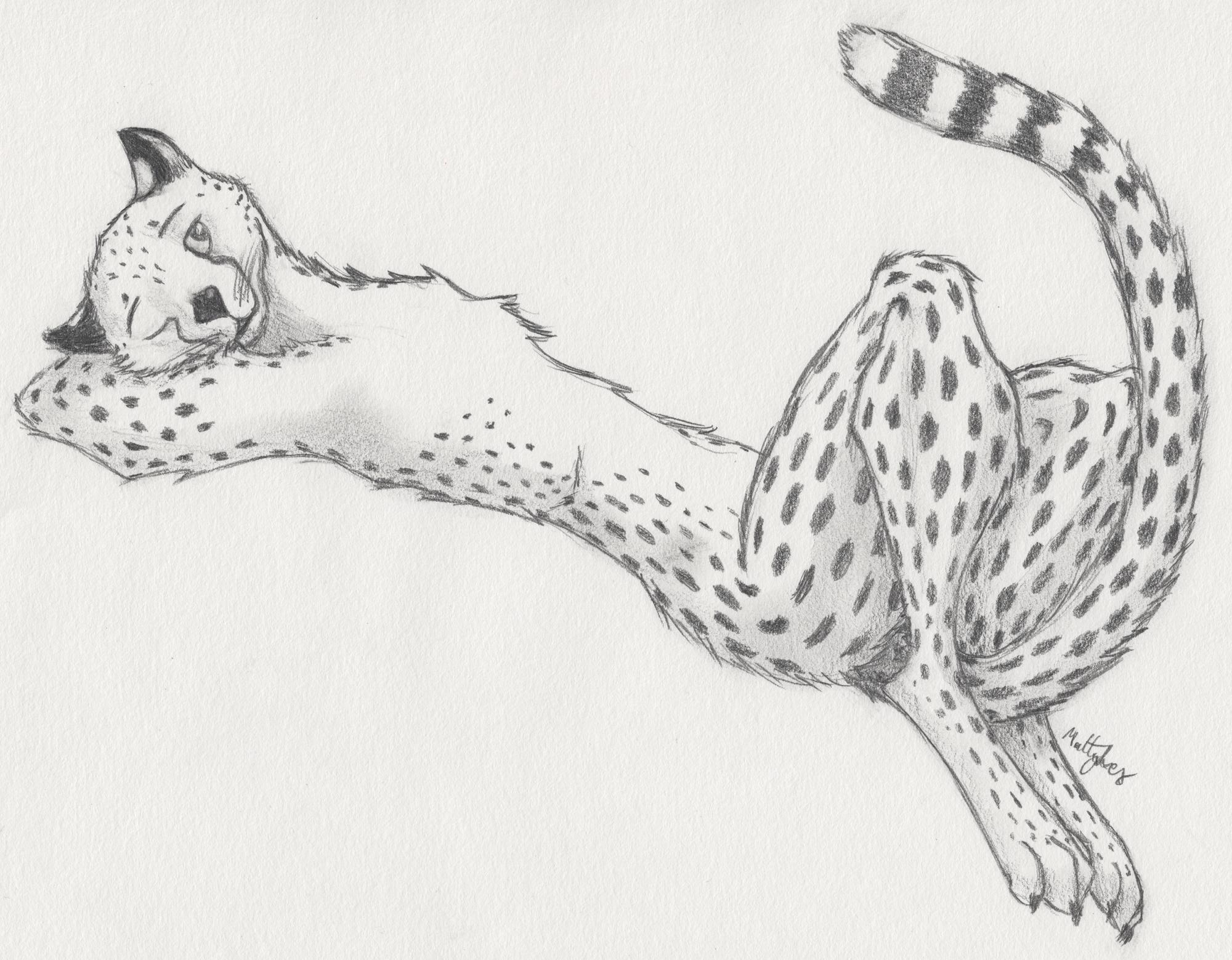 Cheetah Sketch by mattyhex