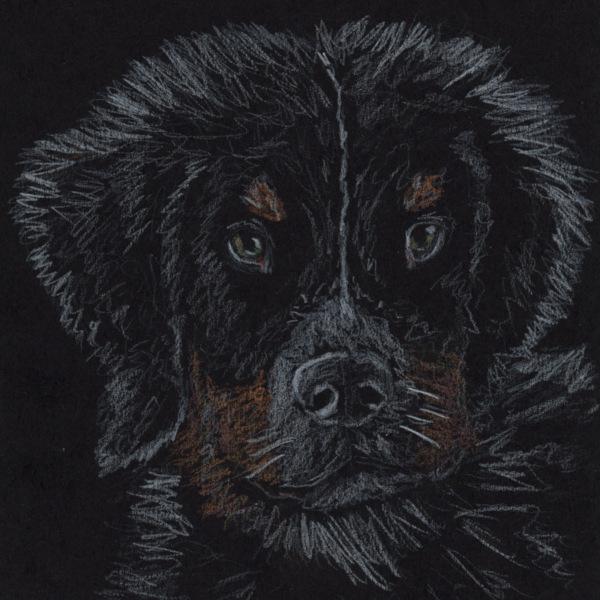Bernese Puppy Sketch