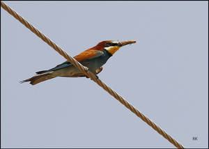 the Bee Eater