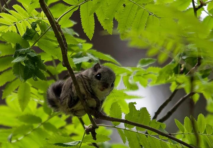 http://fc09.deviantart.net/fs71/f/2010/157/1/a/Siberian_Flying_Squirrel_by_velluttaja.jpg