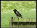 Tatty looking Crow