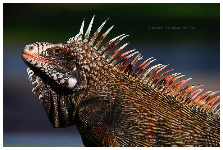 Iguana by Nate-Zeman
