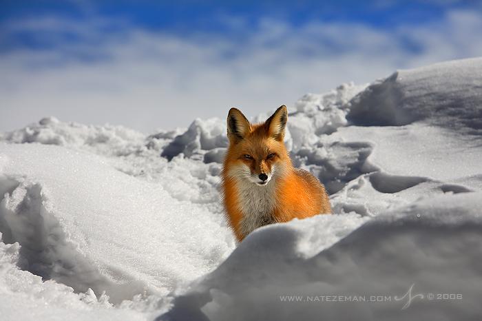 Fox Stare by Nate-Zeman