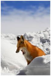 Sleepy Fox by Nate-Zeman