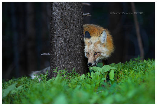 The Forest Fox