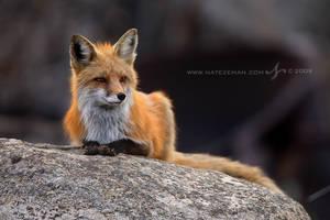 Fox on a Rock by Nate-Zeman