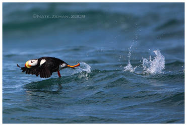 Horned Puffin Takeoff