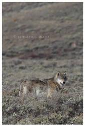 Wolf Sage by Nate-Zeman