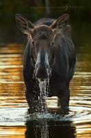Wading Moose by Nate-Zeman