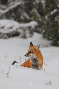 First Flakes: Red Fox