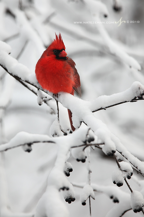 Snowy Perch by Nate-Zeman