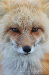 Stare of a Vixen