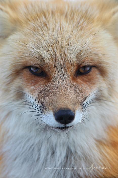 Stare of a Vixen