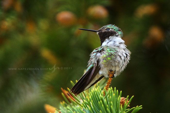 Broad-Tailed Hummingbird by Nate-Zeman