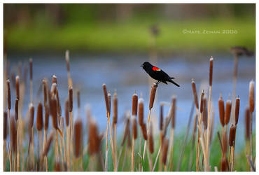 Red Winged Blackbird by Nate-Zeman