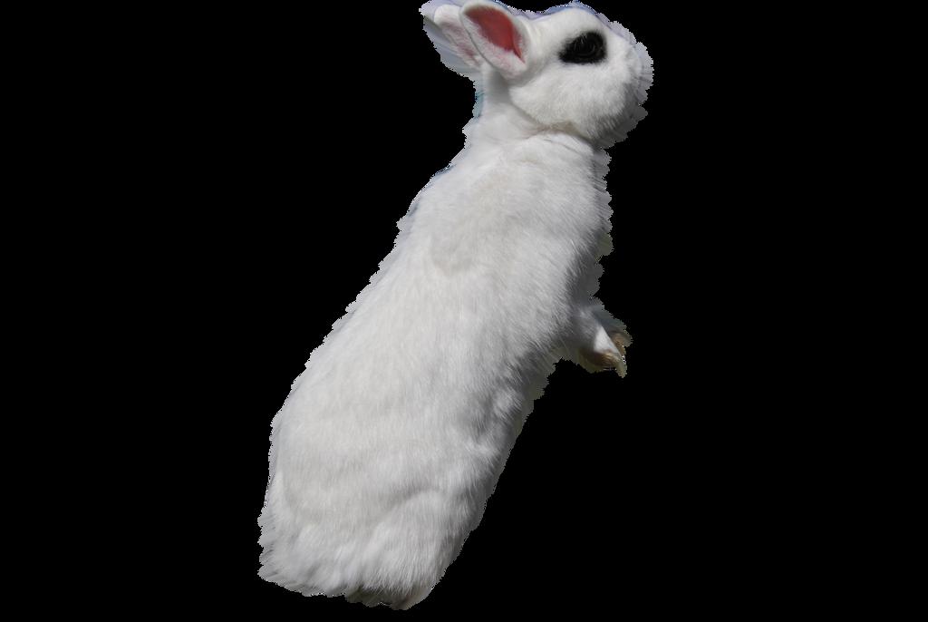 White Rabbit PRECUT PNG Stock