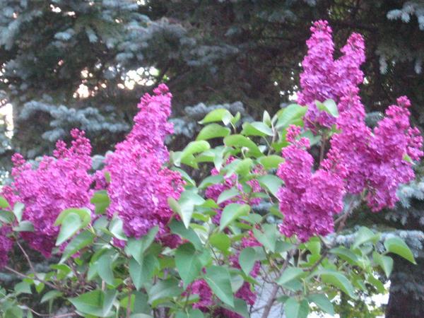 dark purple lilac 2 by crazygardener
