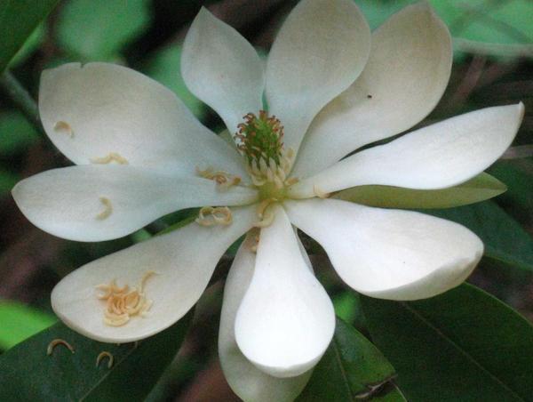 sweet bay magnolia flower by crazygardener