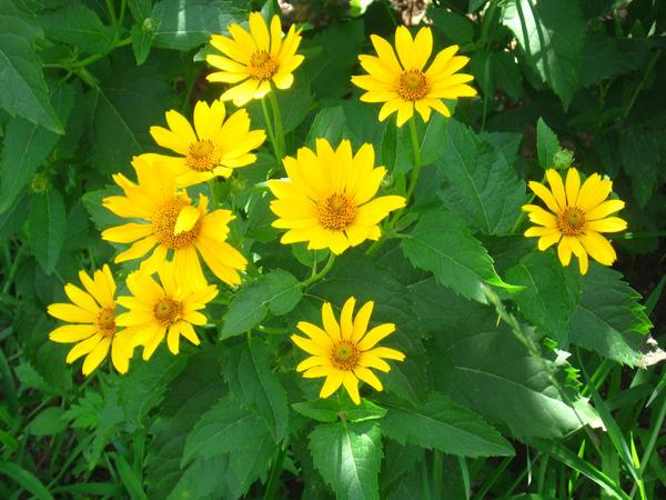 perennial sunflower by crazygardener