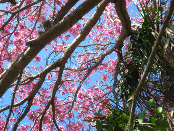 pink flowering tree 4 by crazygardener