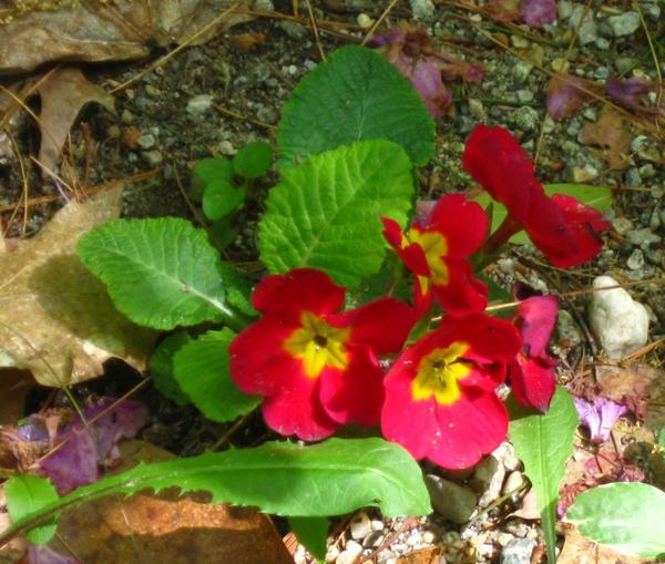 red prim rose by crazygardener