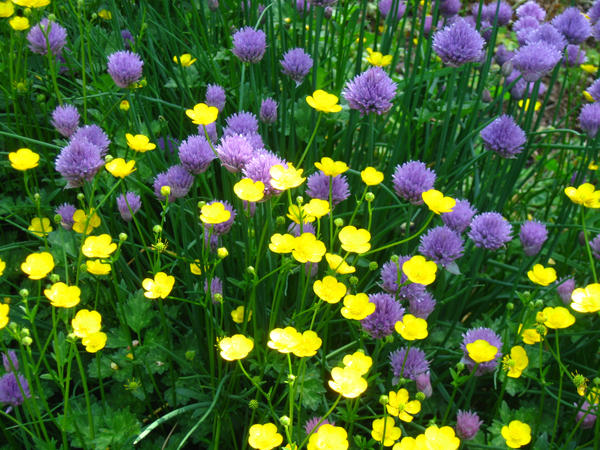 butter cups and chives by crazygardener