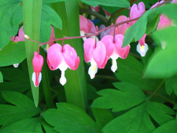 bleeding hearts. by crazygardener