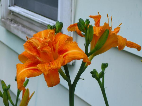 double daylily by crazygardener